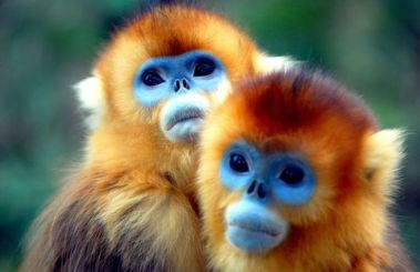 Yunnan golden monkey