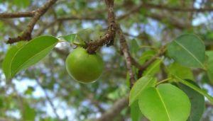 manchineel_apple.jpg.653x0_q80_crop-smart