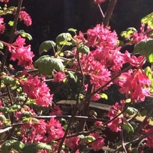 April: Ribes sanguineum
