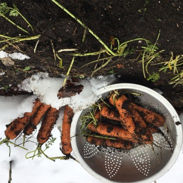 What's Left in the Garden?  Carrots!