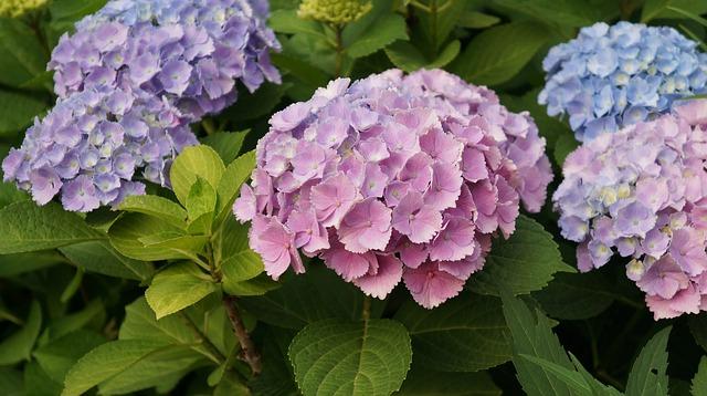 紫陽花は縁起が悪いってホント?紫陽花と風水についての考察
