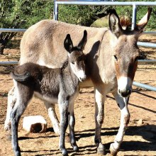 Mama burro Rosie and baby Rosetta; photo courtesy of Joie Giunta.