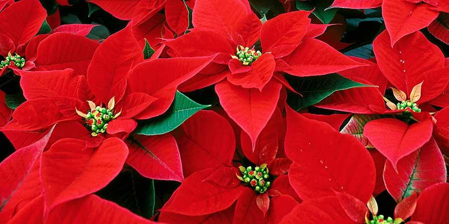 Christmas Tradition Poinsettia