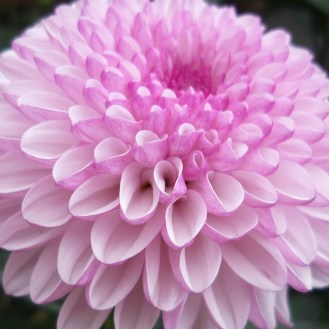 2.5D Chrysanthemum