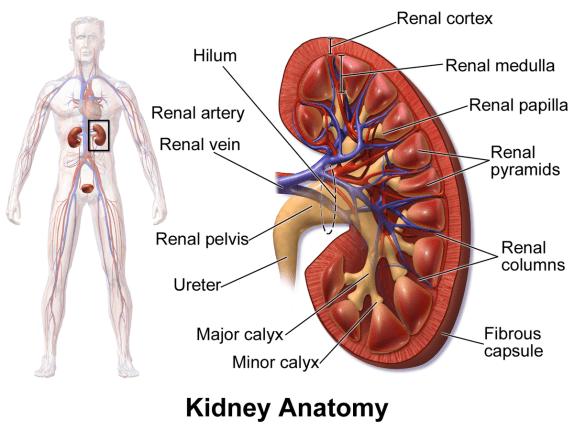 1200px-Blausen_0592_KidneyAnatomy_01