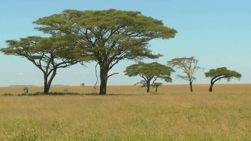 acacia-trees-grown-on-the-african-savannah-stock-video-footage-png-tree-savannah-1920_1080