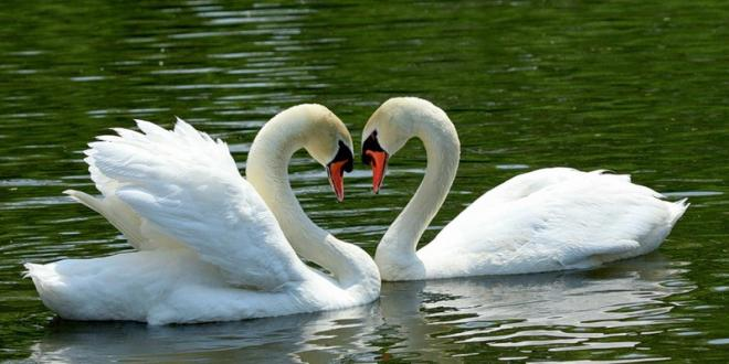 What Swans Symbolize