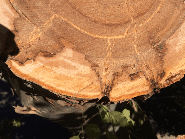 Quantacav-arboriste-expert-pourriture