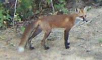 Fox 004 (2)