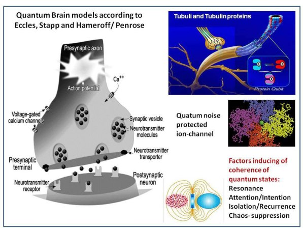 Fig 8. Some aspects of quantum brain models: Synaptic transmission by vesicular exocytosis of neurotransmitter molecules, Ca2+ -influx via Ca2+- channel protein in the neuronal membrane facilitates fusion of synaptic vesicles in the presynaptic terminal. The fusion of sufficient vesicles leads to transmitter release and depolarization of the postsynaptic membrane, this fusion process bears a quantum probability character.