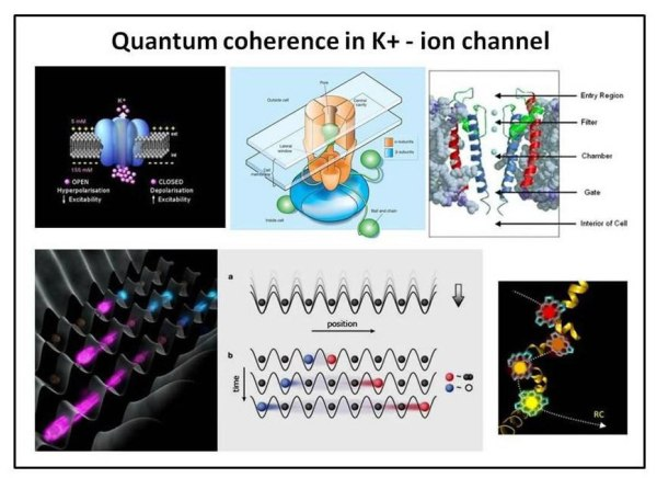 Fig. 25 : The potassium channel structure that protects the K+-ion from decoherence (above) and the flow of quantum information through entangled series of channels.