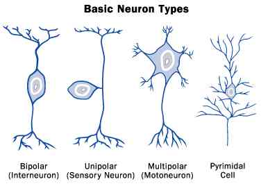 human_brain_basic_neuron_types
