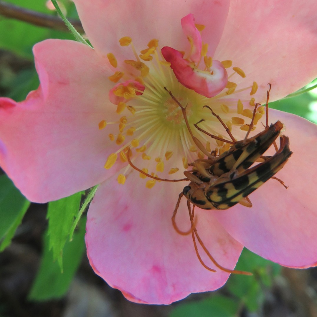 Longhorn flowerbeetles on Carolina rose