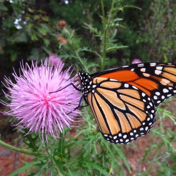 Monarchs need native thistles