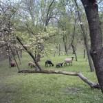Slanic Prahova, landscape with goats