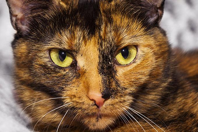Un superbe chat écaille de tortue tricolore