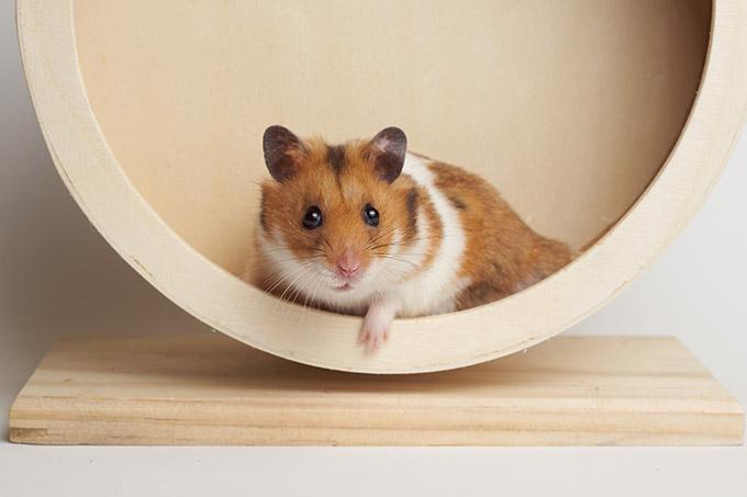 Un hamster dans sa roue