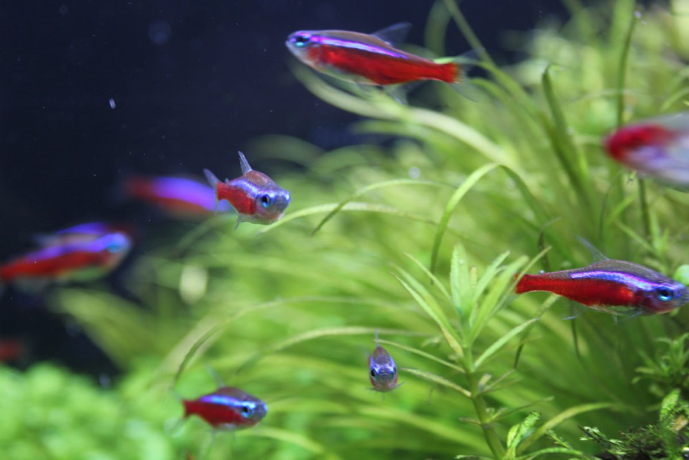 初心者にオススメ!人気が高く、飼育しやすい熱帯魚・ベタ・金魚の種類と飼い方