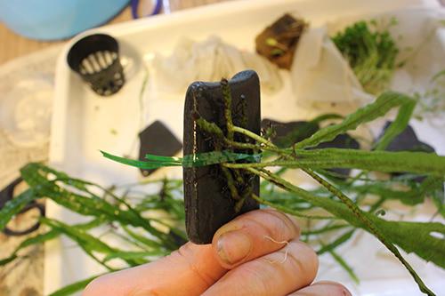ミクロソリウムの茎の間を通します