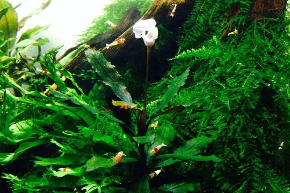 花が咲く!ブセファランドラの育て方丨活着方法やトリミング方法や増やし方のまとめ