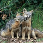These Foxes Faced Extinction. Now, They're Making an Amazing Comeback — TIME