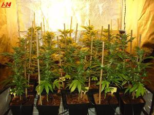 White Widow Queen Seeds biotops