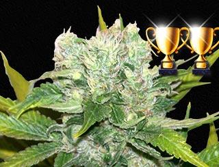 graine de cannabis - NL Apolo G13