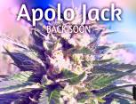 graine de cannabis - Apolo jack
