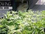 graine de cannabis - growing