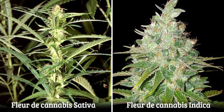 Fleurs de cannabis sativa et indica