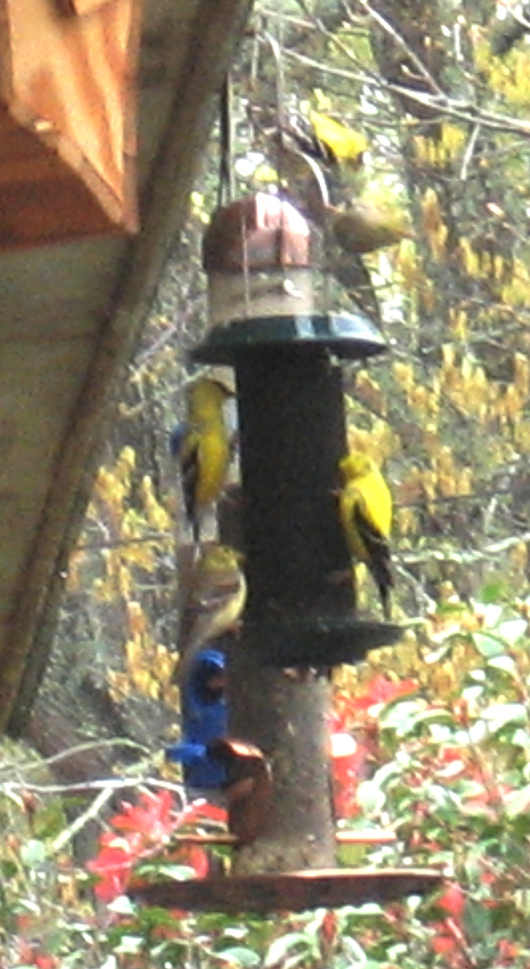 Goldfinches on thistle feeder