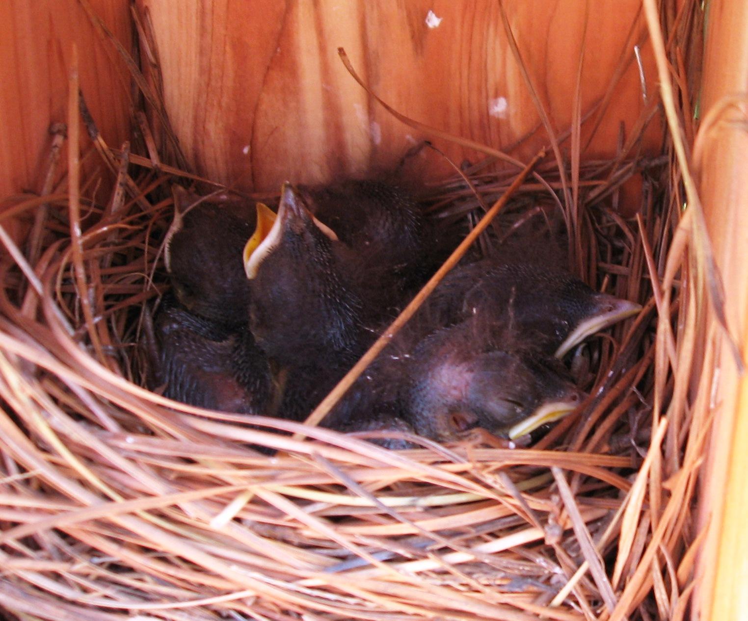 Day 8, baby bluebirds