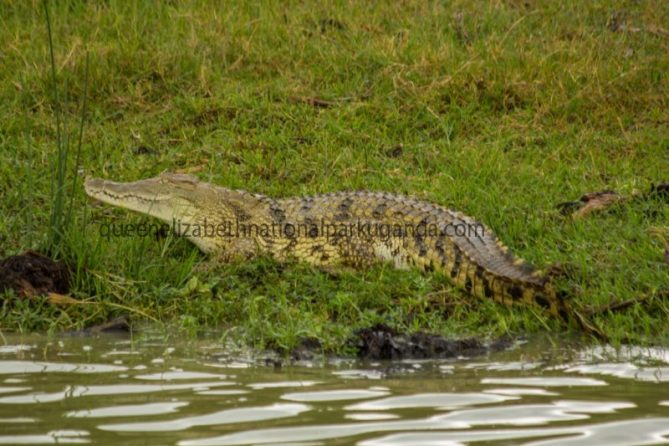 crocodile-at queen-elizabethnp