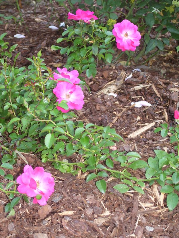 "Deep pink rose ""carpet"""