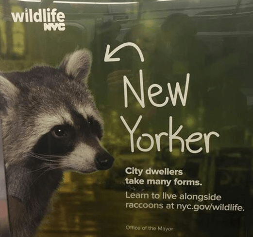https://i2.wp.com/queenoftheclick.com/wp-content/uploads/2016/05/nyc-wants-you-to-live-with-raccoons.png