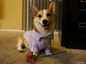 OMG YES I'LL BE YOUR CORGI VALENTINE