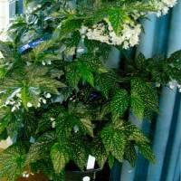 Begonia 'Rosie'