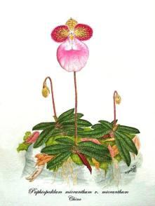 Paphiopedilum micranthum v. micranthum (painted)