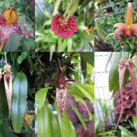 Unusually Beautiful Bulbophyllums Shared in the Queensland Orchid Society Facebook Page