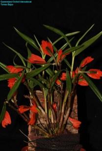 Dendrobium vexillarius red (1)