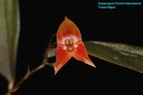 Lepanthes niesseniae (2)
