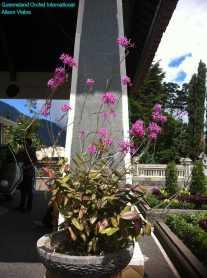 Epidendrum Orchid (1)
