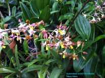 Orchid Nursery at Sanur, Bali (21)