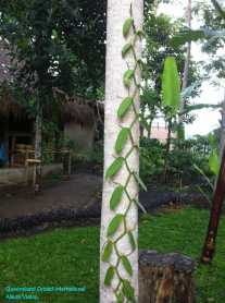 Vanilla Growing (2)