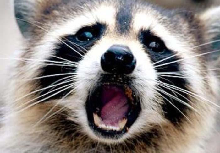 NYC vacuna mapaches contra la rabia