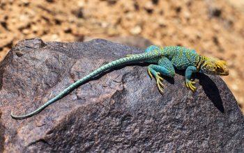 Whiptail Lizard
