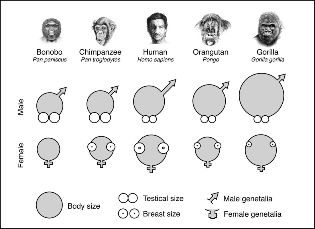 Por qué los humanos desarrollaron penes grandes, pero testículos ...