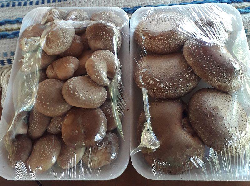 Casa da Mata produz shiitake na Mantiqueira paulista