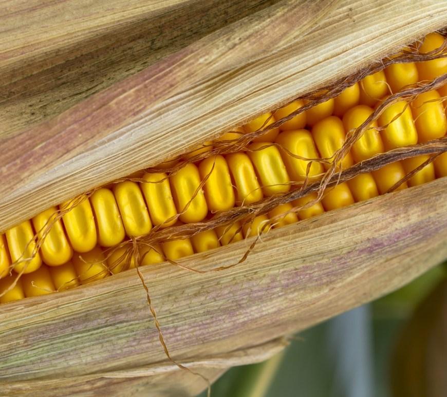 Maioria do milho orgânico do País é cultivado no Sul