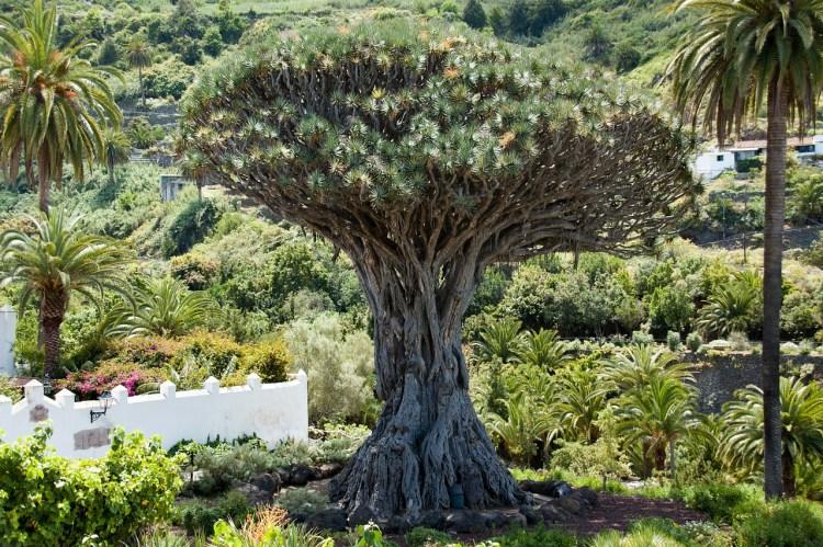 Drago Milenario 10 imprescindibles de Tenerife o qué ver en Tenerie sí o sí